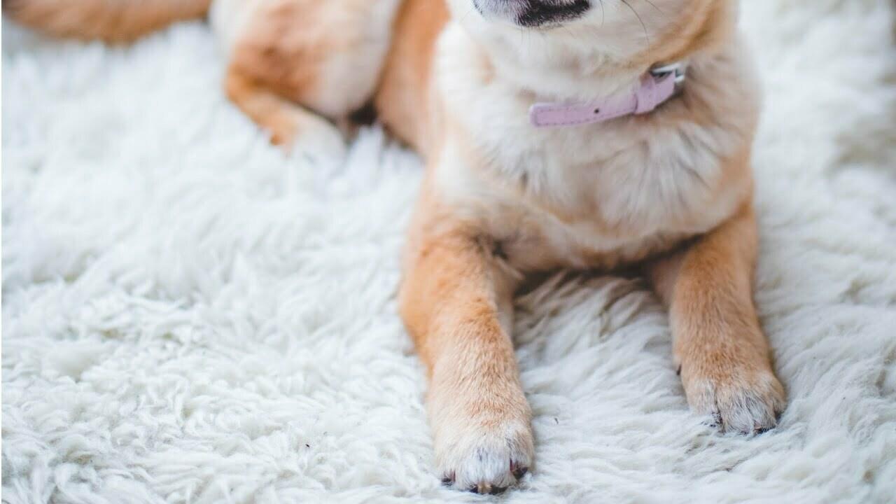 Klotång för hund bäst i test 2021 – hitta bästa hund klotången här!